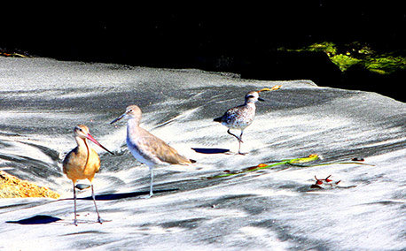 Sandpipers_458x284